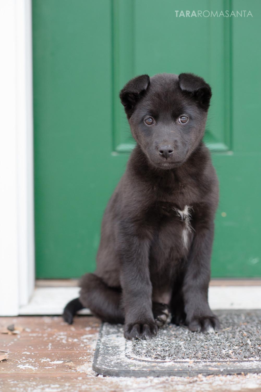 Alaskan Husky mix pup