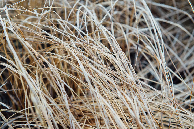 frozen grasses