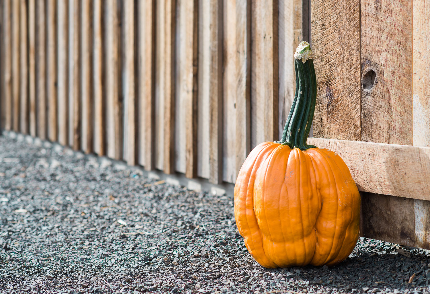 lone pumpkin by wooden wall