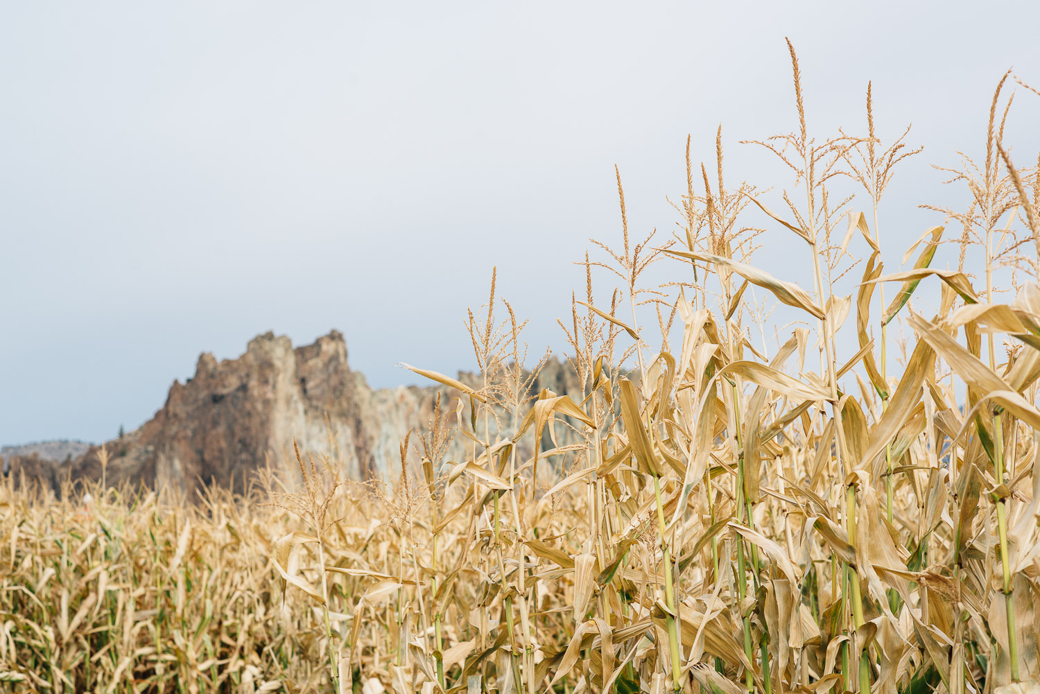 corn maze with a view