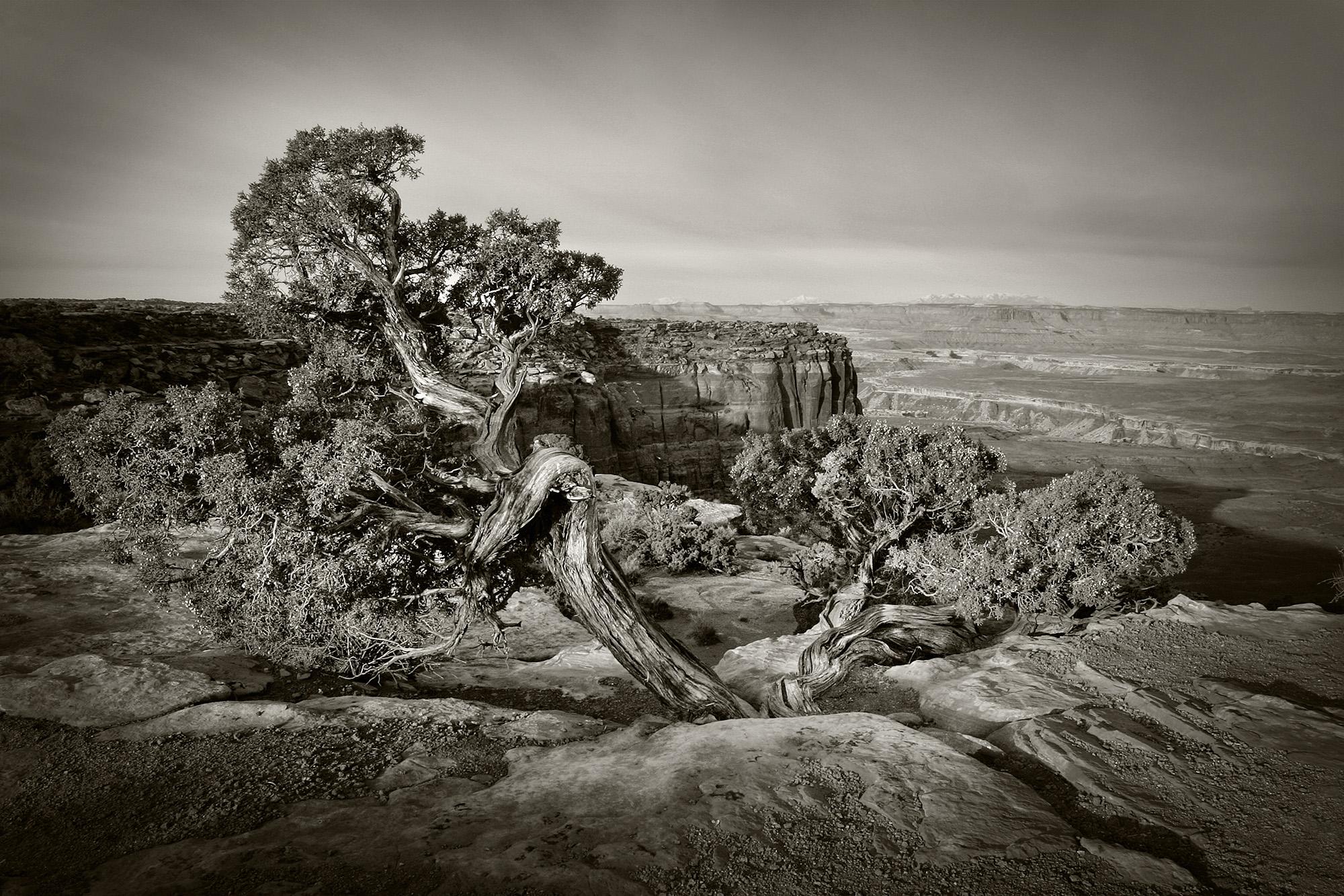 Canyonlands Juniper