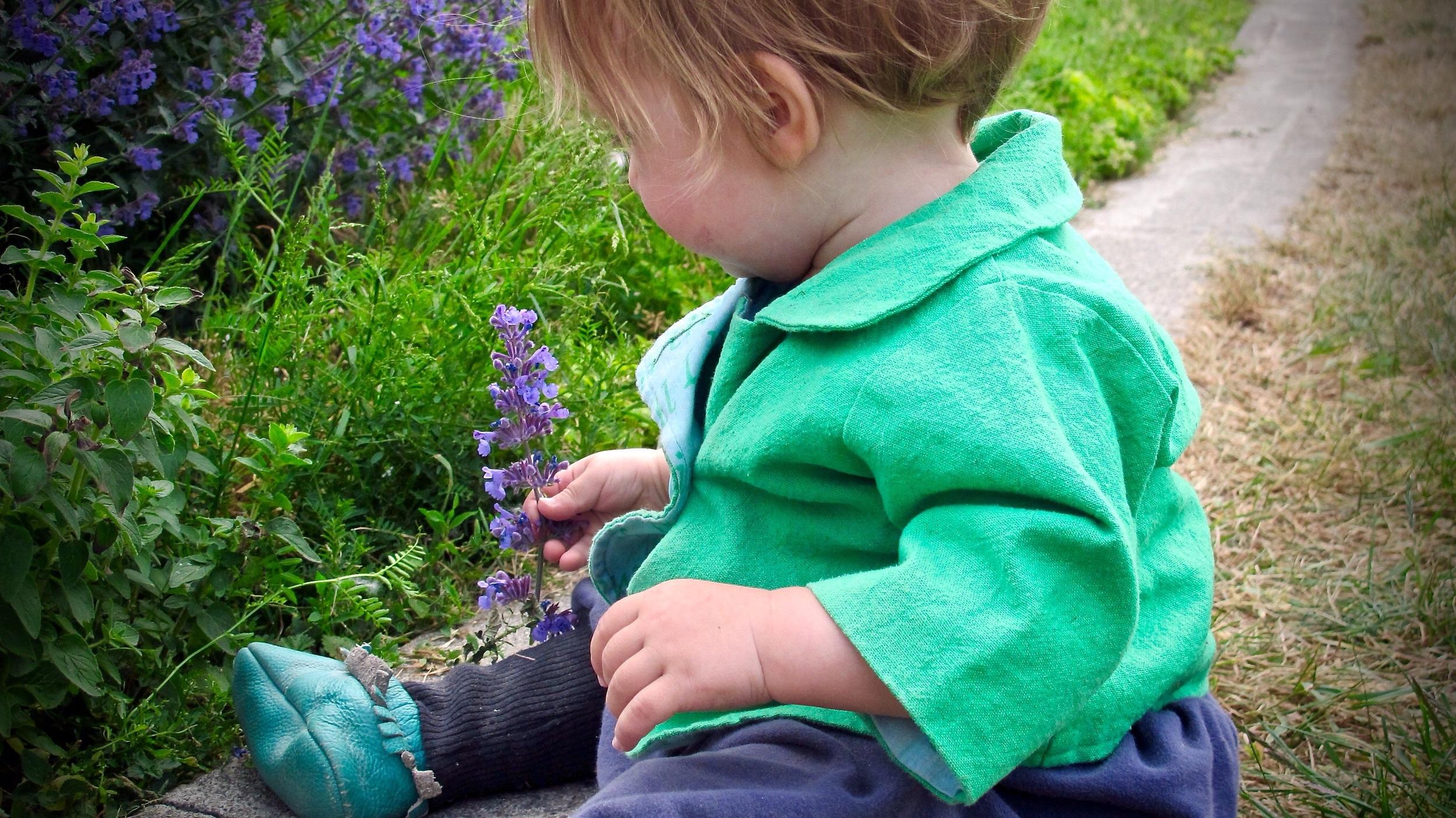 Picking purple sage flowers