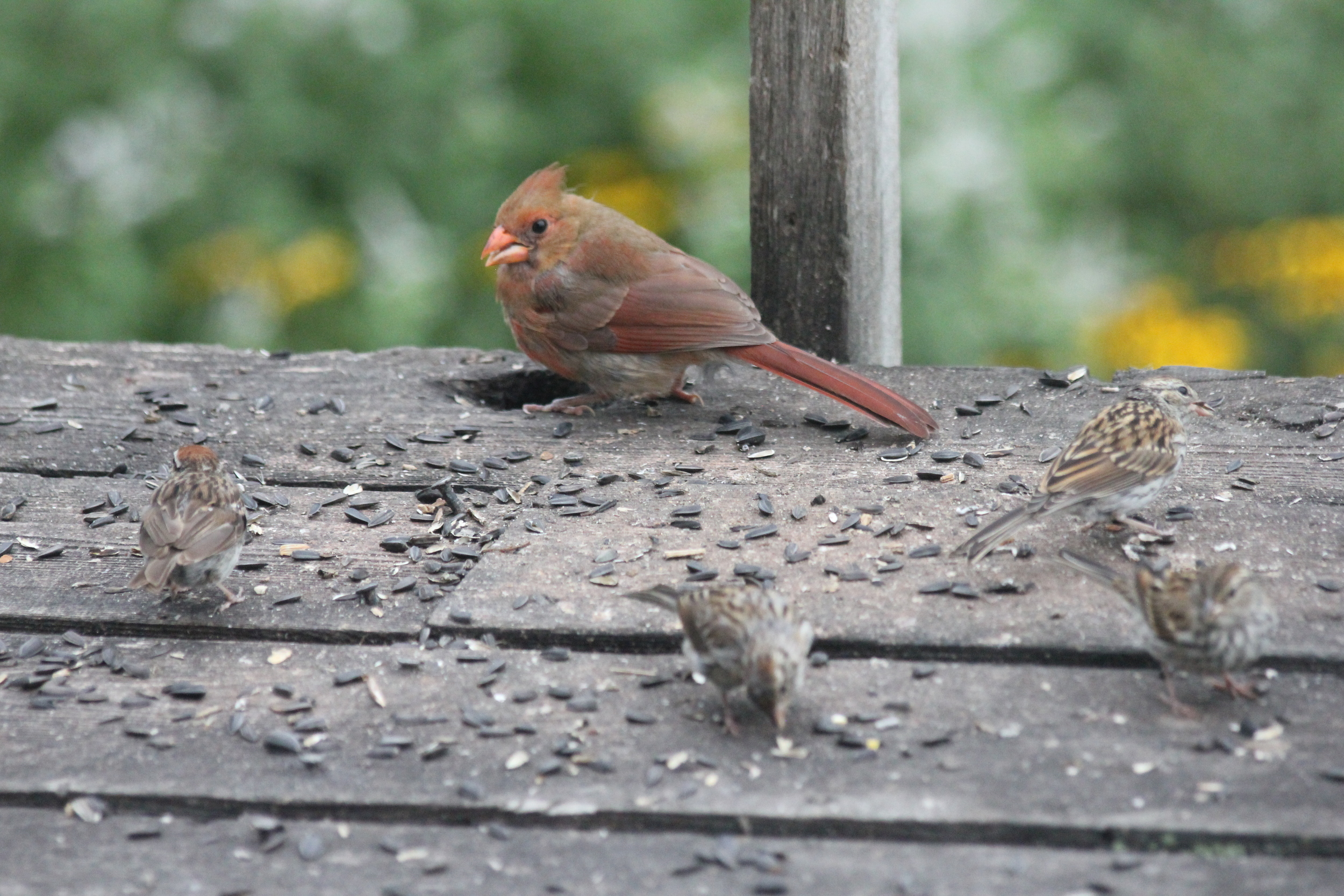 Female Cardinal with some Chickadees.