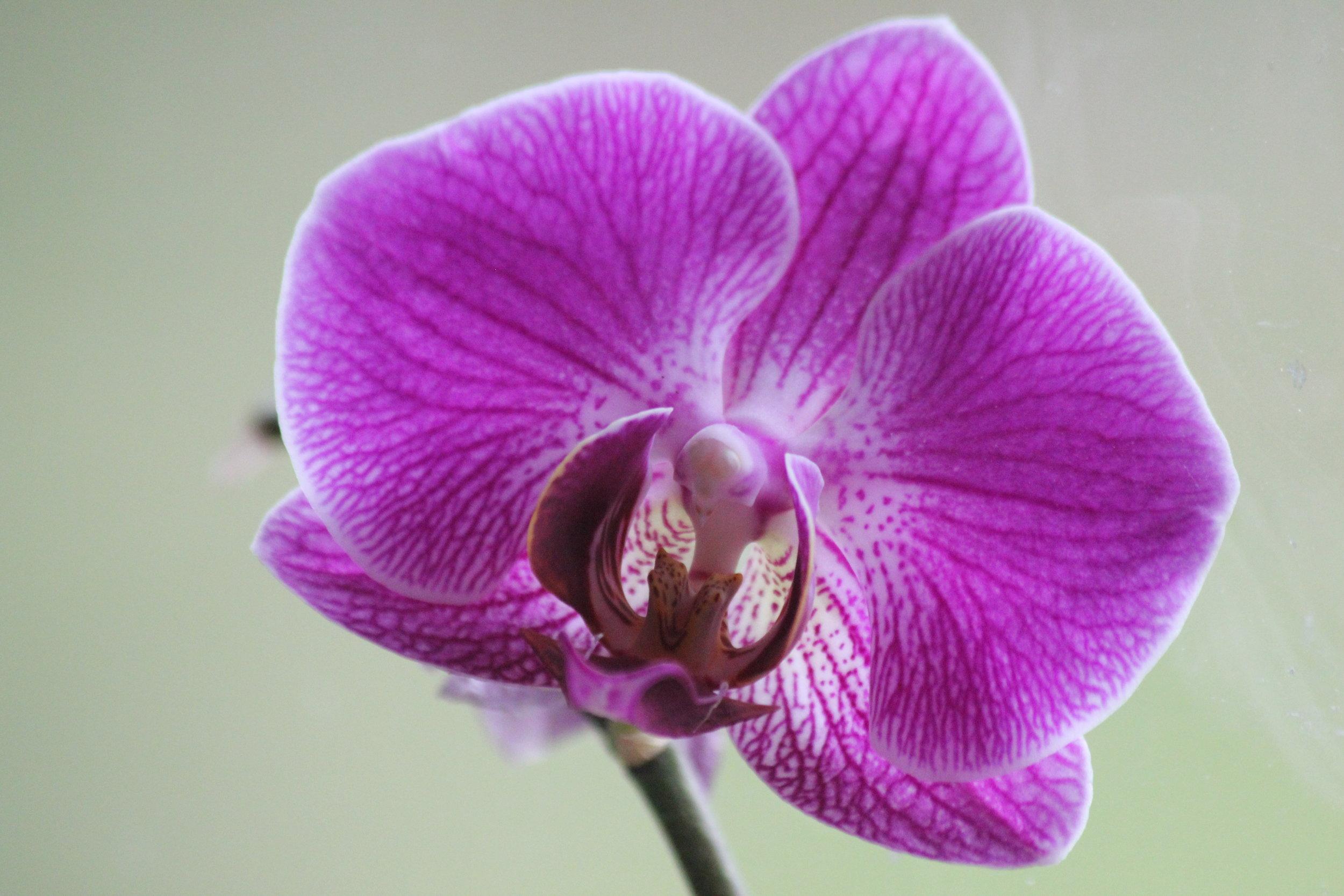 Ann Chadwick's favorite Orchid.