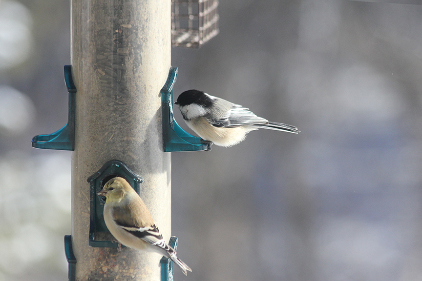 Goldfinch (bottom) and Chickadee sharing the feeder.