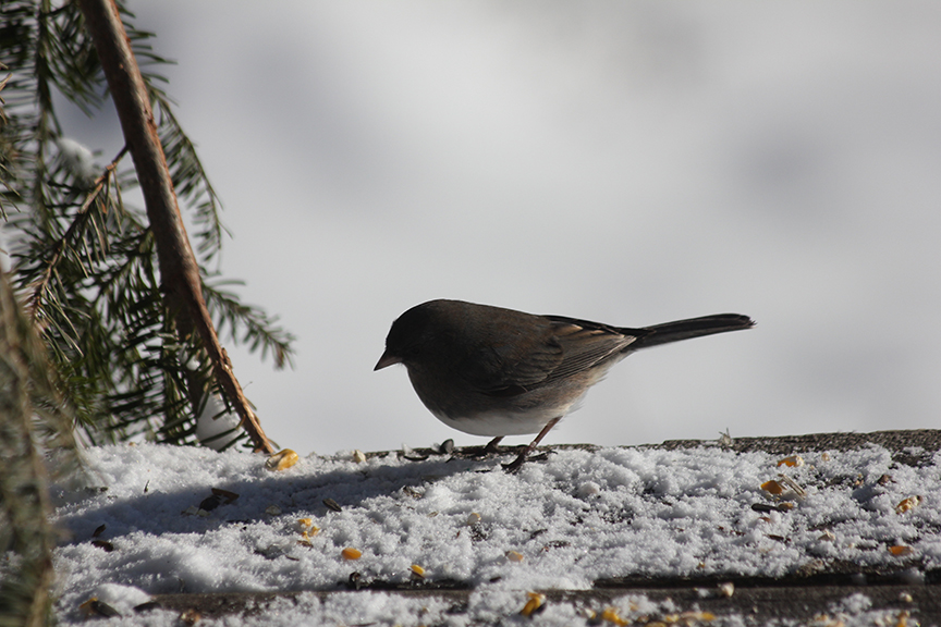 Junco and seeds.