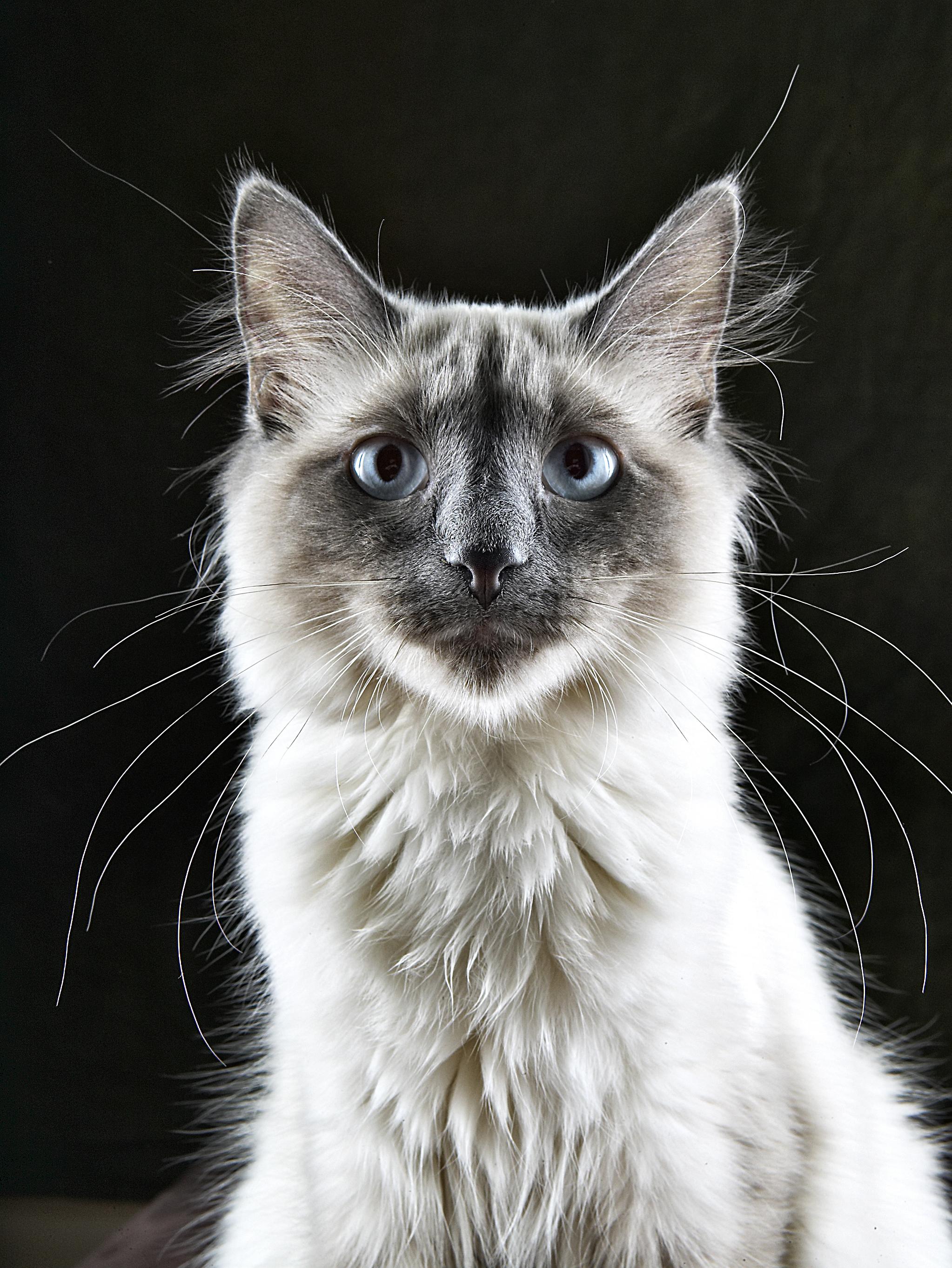 persiancat1.jpg