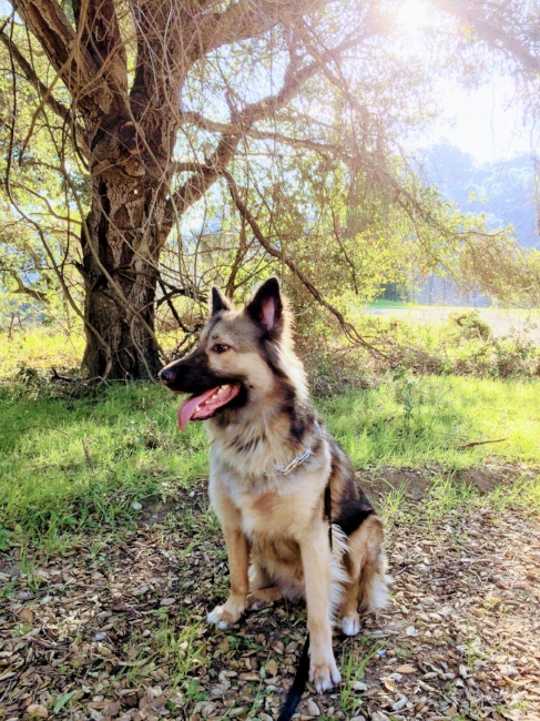 Shepard Mix In The Woods Photograph