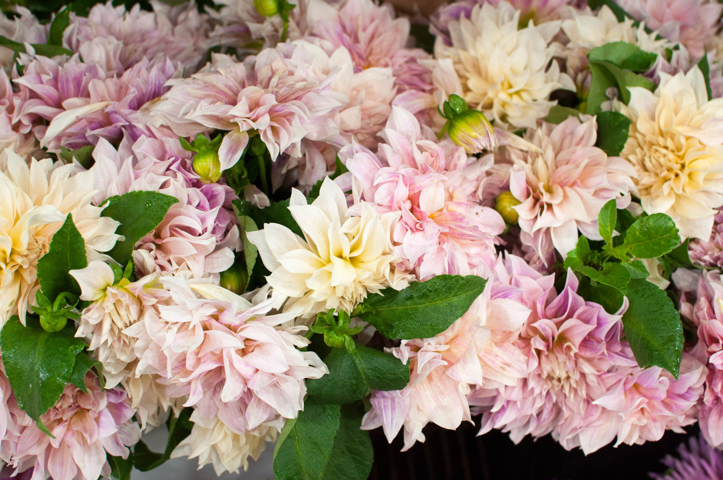 Dahlias for sale at the New York Flower Market.