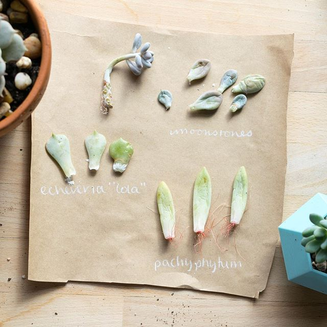 Starting and sorting some succulent cuttings while I bring the last of my plants in for the winter. #plantlady #leafladies #succulents #gardening #crazyplantlady