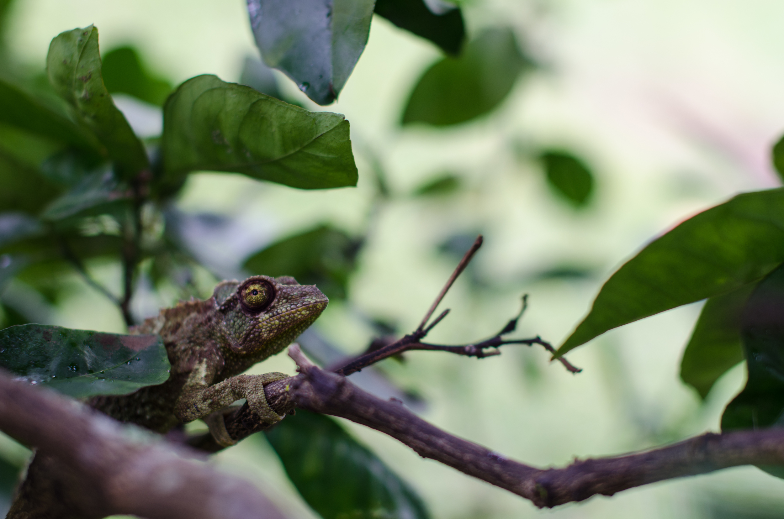 We found this chameleonfriend on an orange tree at the plantation.