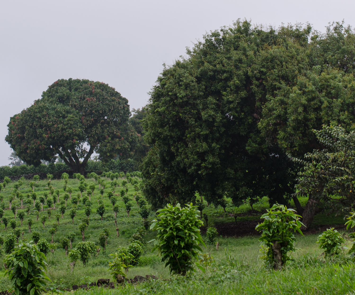 Endless rows of coffee trees.