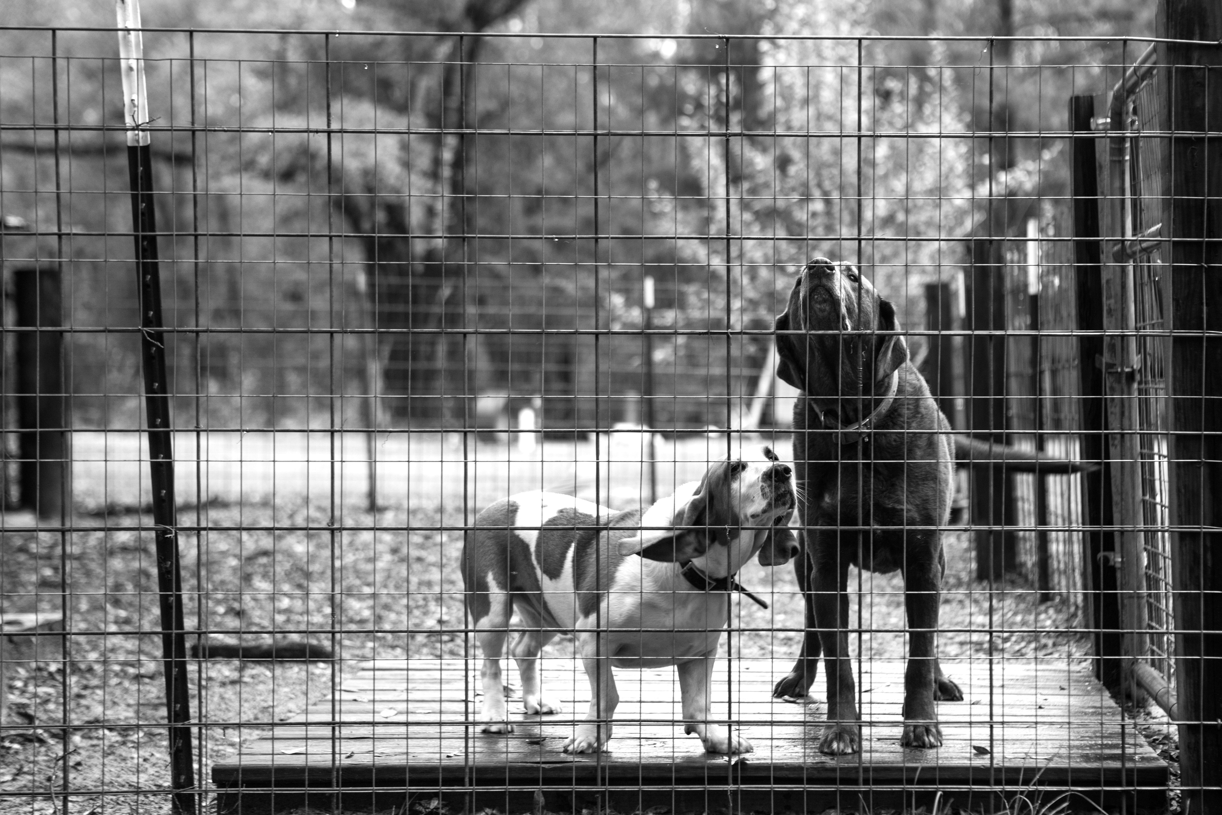 Deep South farm dogs, doing their thing.