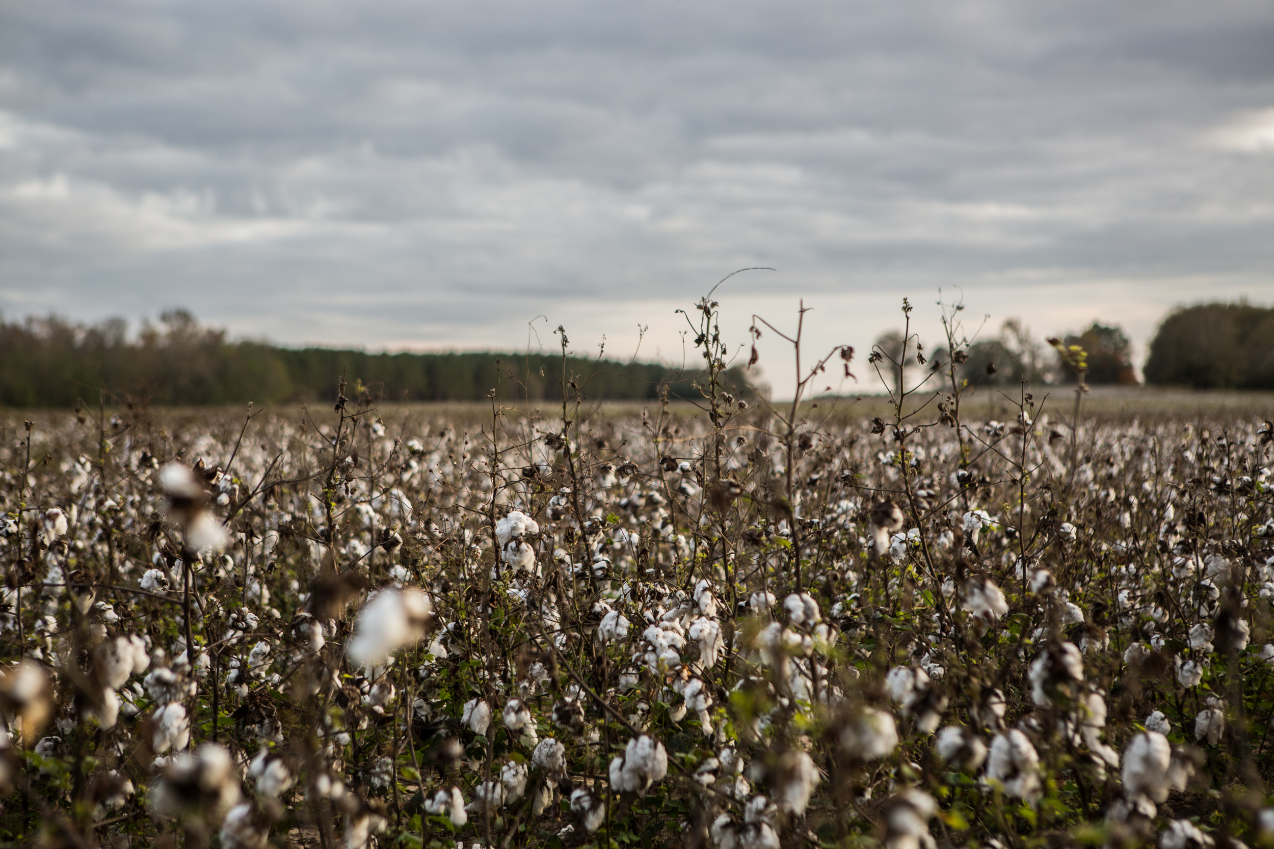 One of many cotton fields we passed in Alabama. The stalks look like miniature trees with clouds all about the branches.