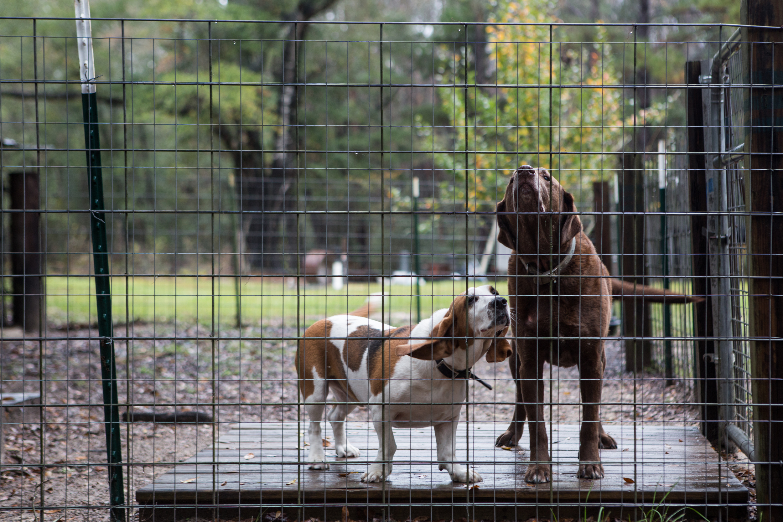 Farm dogs doing their farm dog thing.