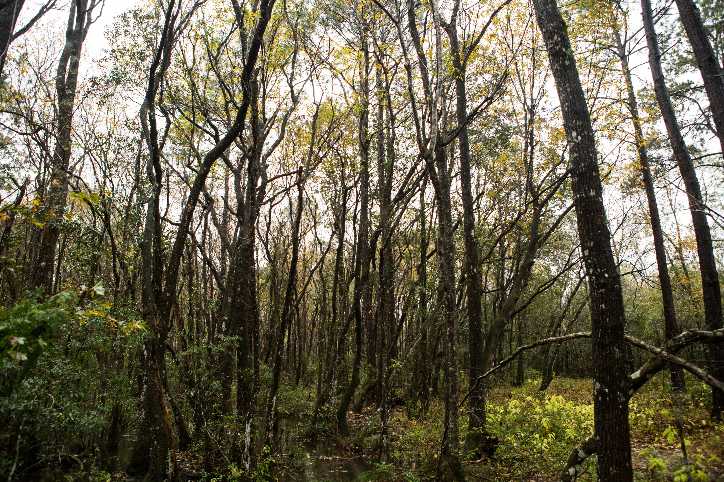 We stayed a night in North Florida with a sweet brother of my mom's. He lives on a few acres in the country, nestles among these pretty spindly trees.