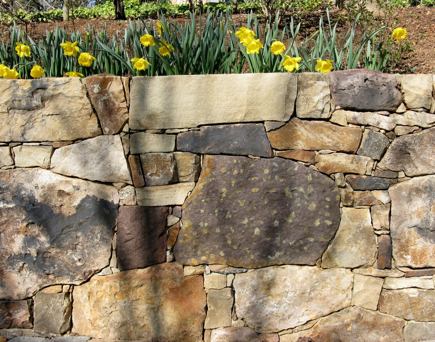 Daffodils along a stone wall announce spring.