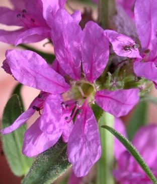 Purple Loosestrife flower.jpg