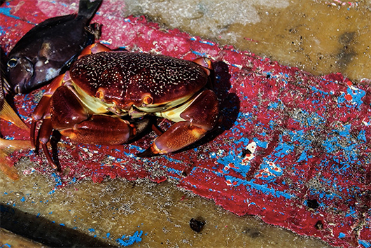 crab-with-doctor-fish-1-of-1_orig.jpg