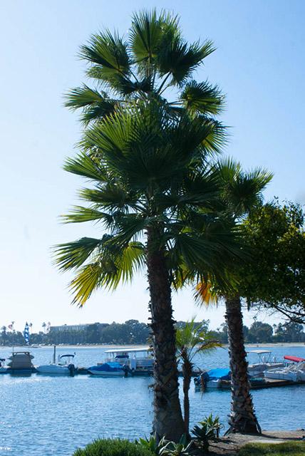San Diego Palm Trees.jpg