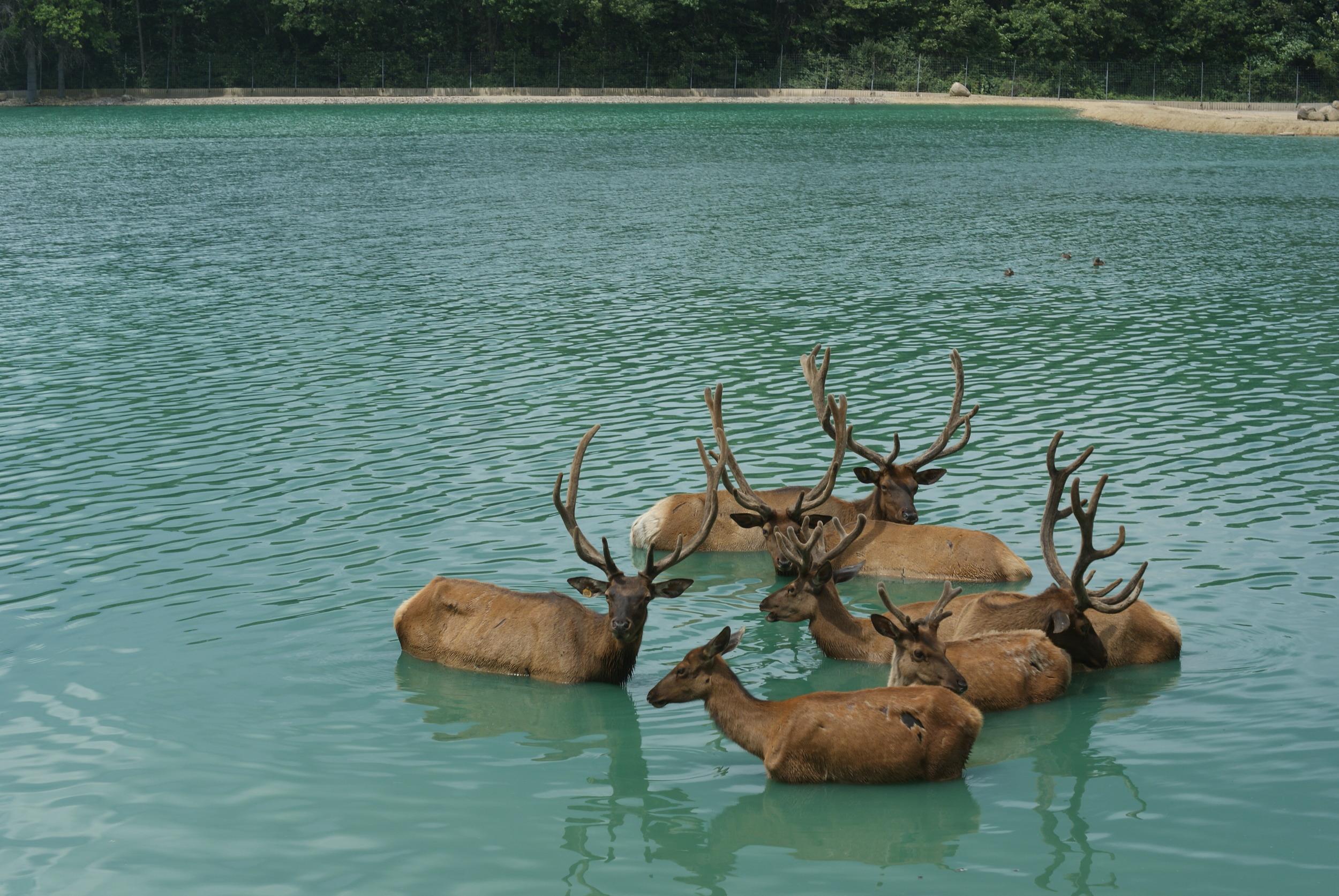 *Elk in water.JPG