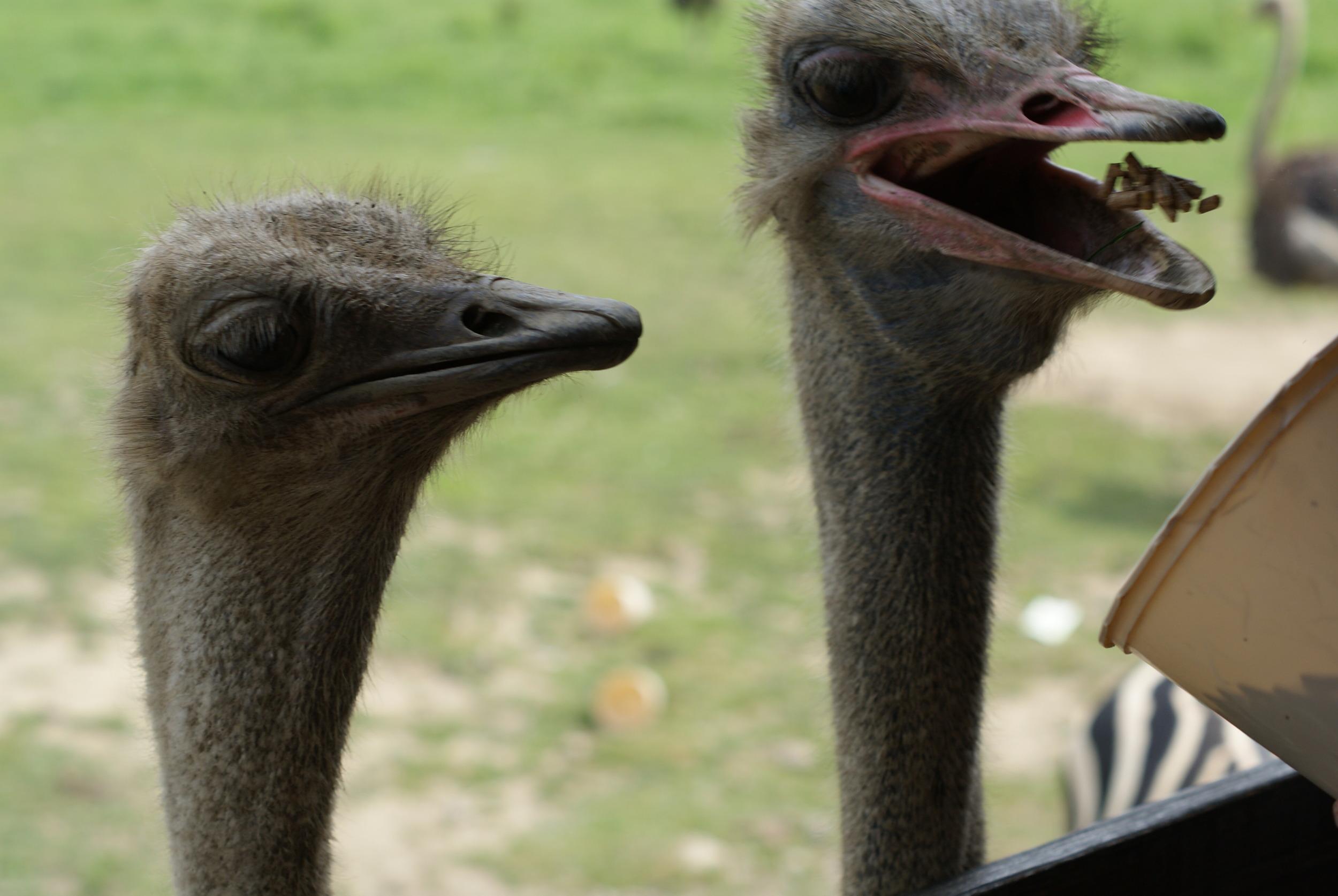 *Ostrich Action.JPG