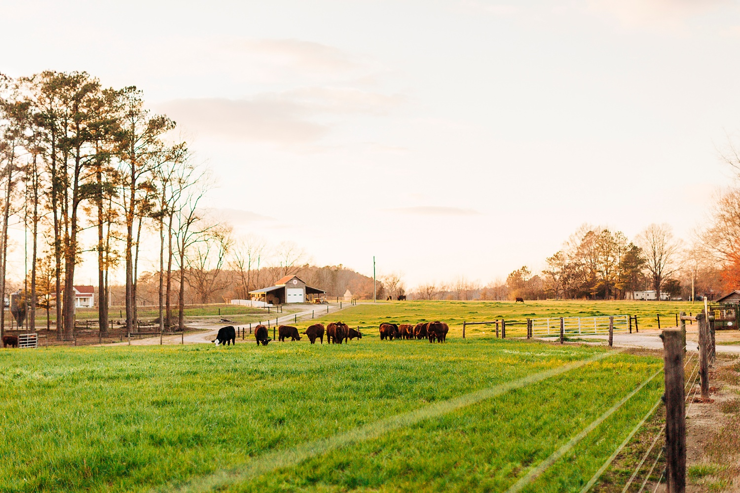 nc cattle farm at sunset