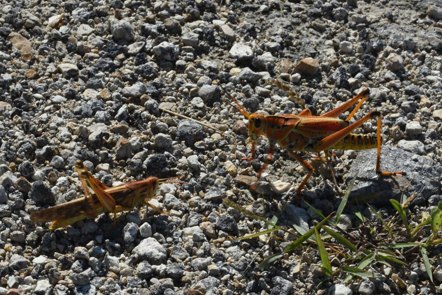 """Florida's enormous Orange 4"""" grasshoppers! Every time I see these giants I can't get over how huge they are compared to the ones I grew up seeing every summer in Ohio."""