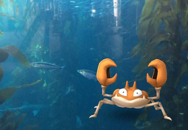 """""""Recently spotted by staffer and Pokémon trainer Claudia Tibbs in our Kelp Forest exhibit, Krabby is a water-type Pokémon frequently found on beaches near the edge of fresh and saltwater. This species is easily identified by its large red pincers, which it uses for balance and combat."""" Said  Monterey Bay Aquarium  on their Facebook Page"""