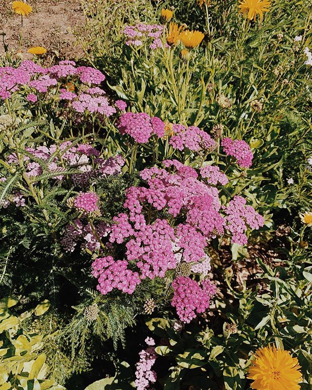 ❊ Y A R R O W ❊ an herb of Venus on Venus day! An ancient one of healing + protection + ceremonial magic. Look at how she stands so tall and strong - and her flowers all pressed closely together creating an umbrella, an umbrella of protection. Yarrow helps us to set & clarity boundaries so that we do not absorb others energies, knowing what is ours and what is not, so that we do not feel drained. I love how a vulnerability also takes place - where she protects us and with that allows us to fully be vulnerable and offer our services to the world because we are strong + solid in the self. An open protection. This allows us to heal + teach + hold space + love + follow our paths, easing the mind and the spirit to feel safe and secure. An incredible ally for almost everyone in this world as we move about, but importantly for those that are sensitive to energies. . Topically, yarrow is so beautifying!! An astringent, anti-inflammatory, anti-bacterial. She cleanses the skin + eases irritations, reduces wrinkles, and contains silica that helps repair damaged tissue. Yarrow is also soothing to inflamed muscles, bruises, and wounds. . You can find Yarrow as the main plant in the LIGHT OF THE DOVE OIL 🕊 May her oil serve as protection radiating from your skin into your auric field, while tending to your skin with beauty.