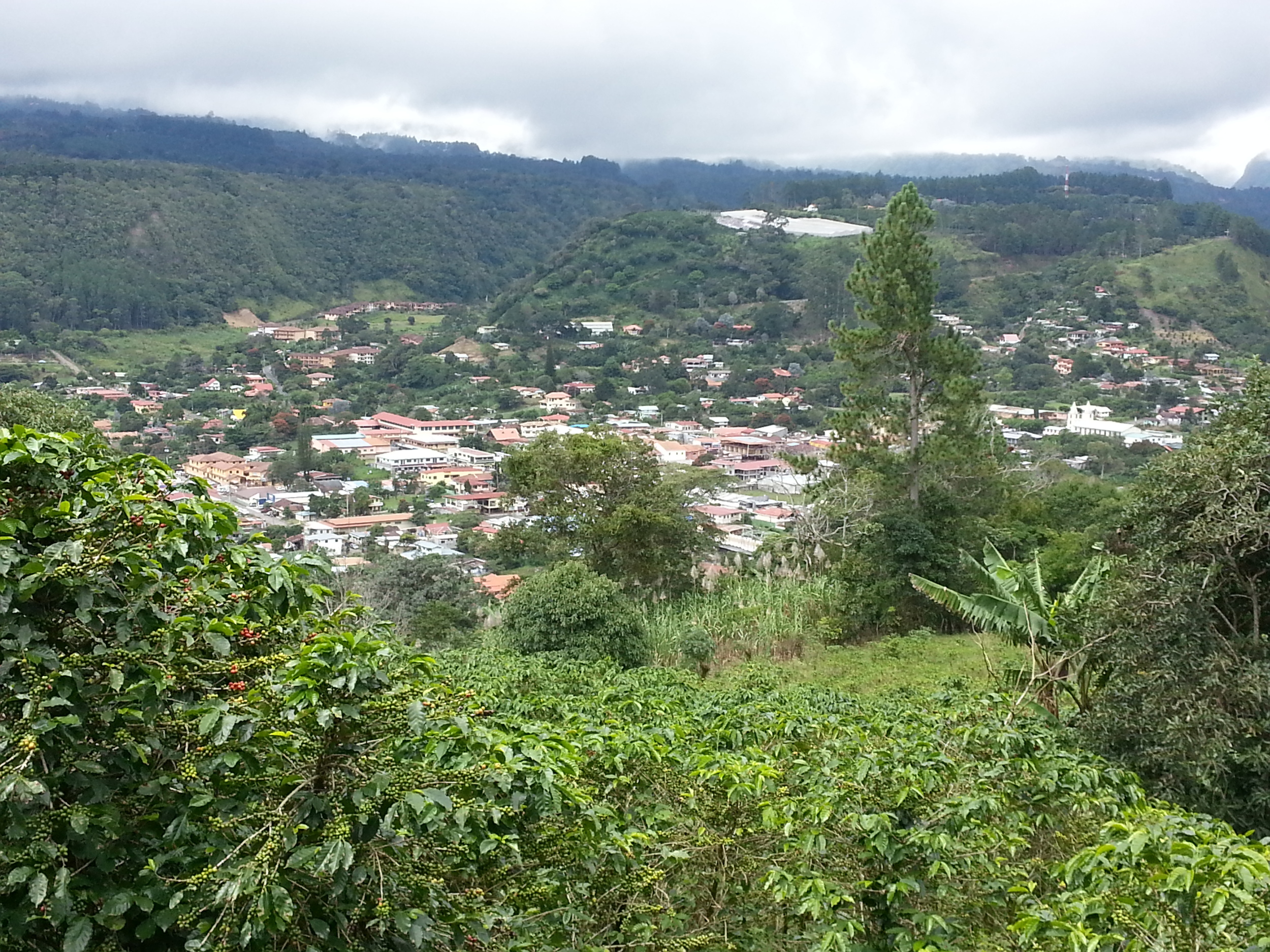 An almost bird's eye view onto Boquete (coffee plants in the foreground)