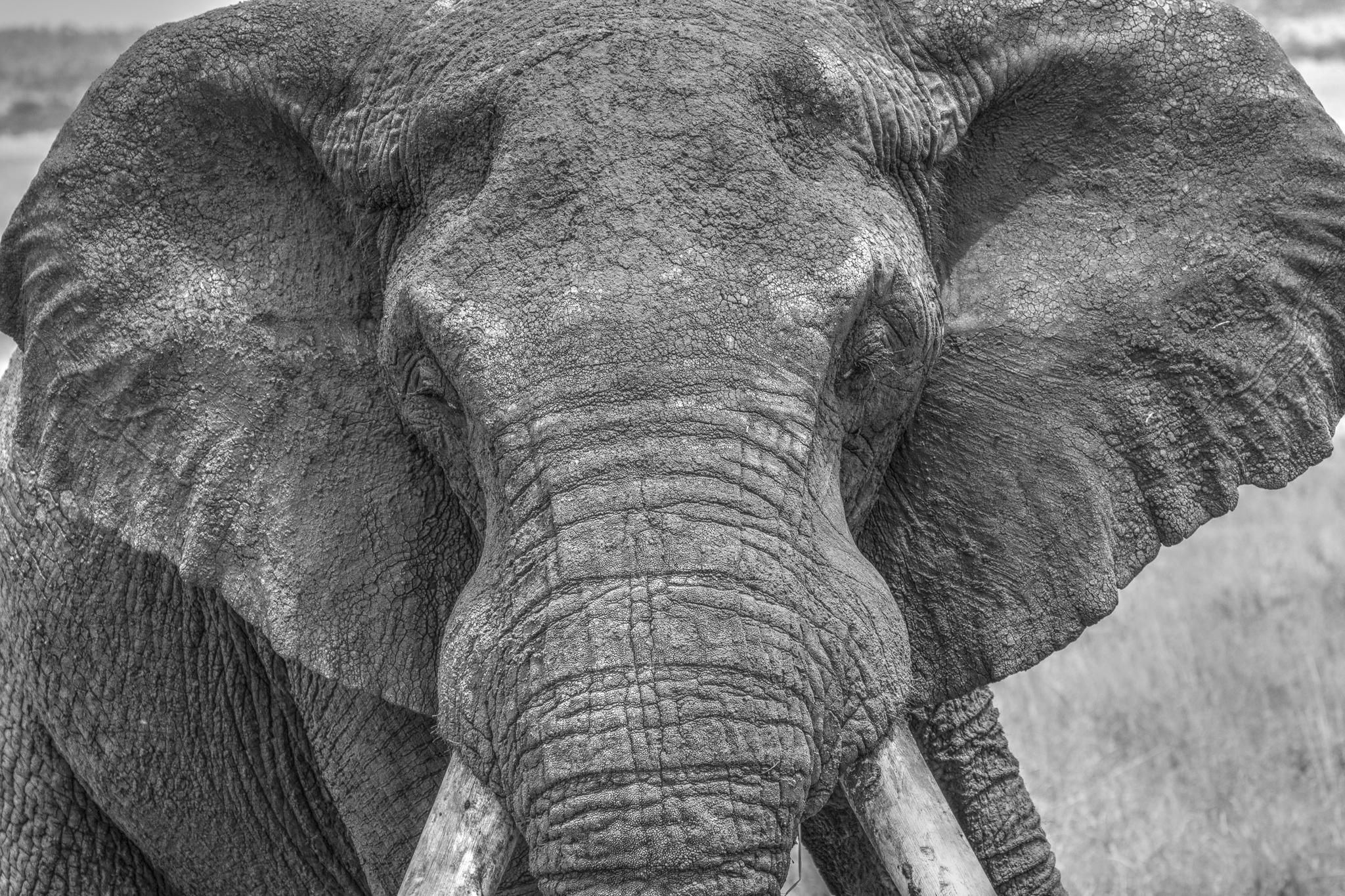 African Elephant - Tarangire National Park, Tanzania.jpg