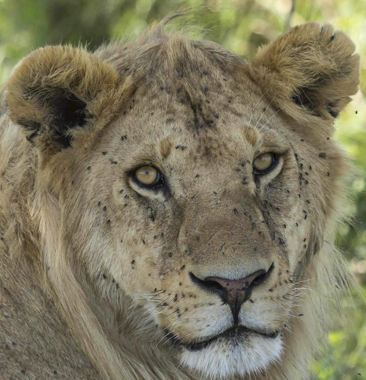 Young Male Serengeti.jpg