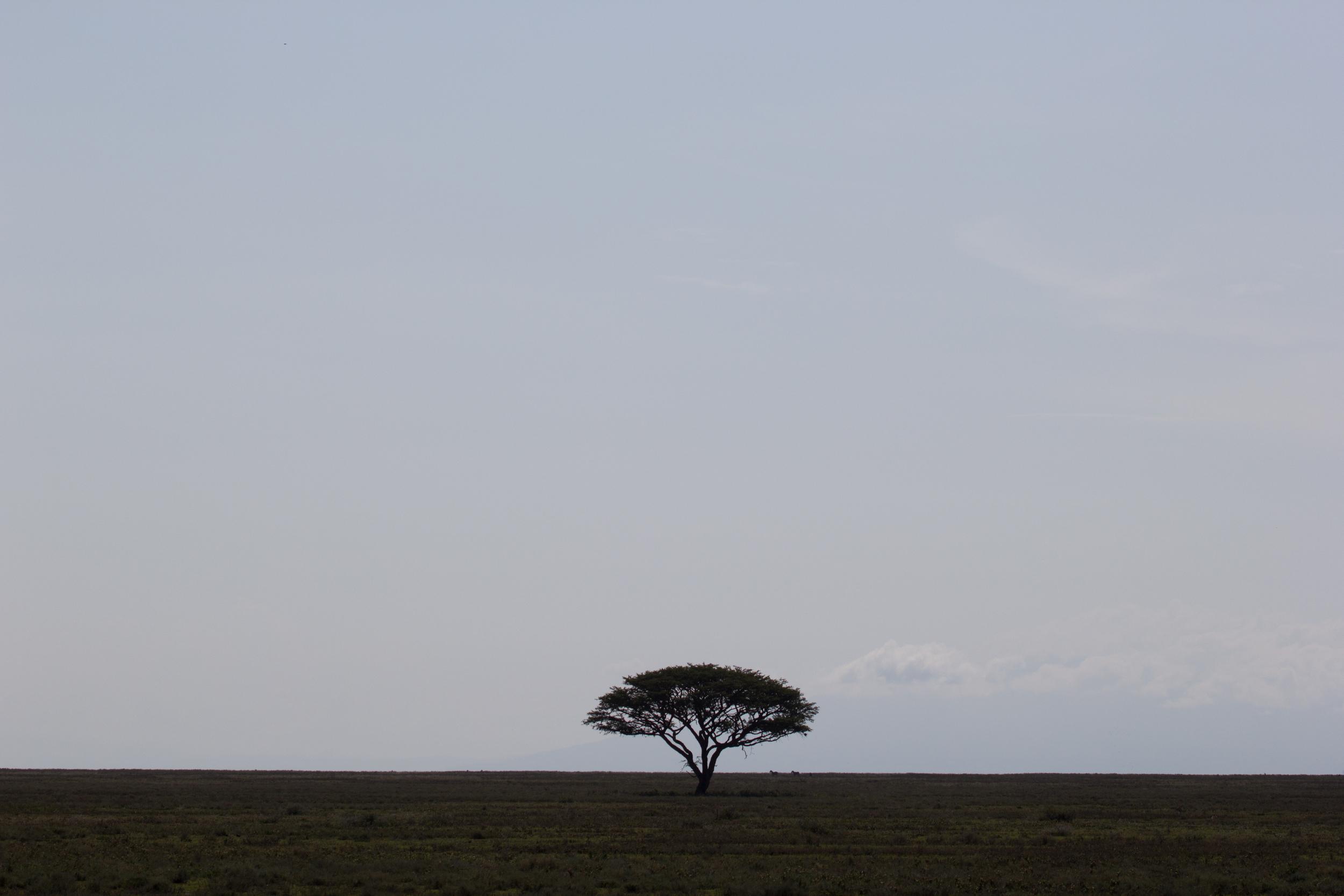 Acacia on Serengeti