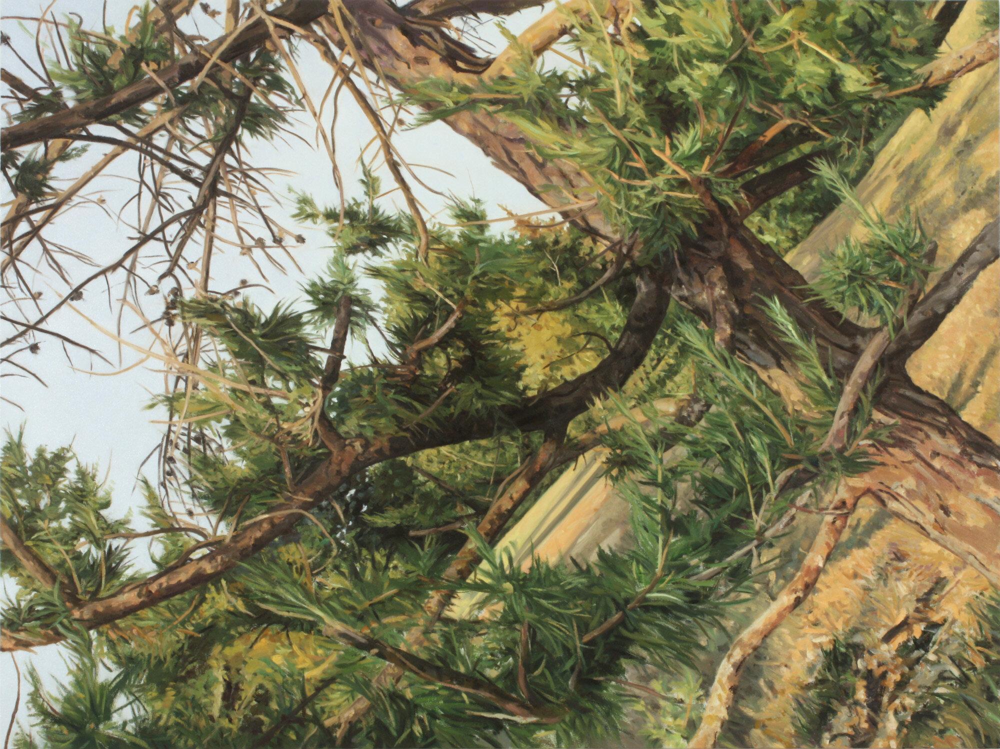 Arboretum Larix sibirica.jpg
