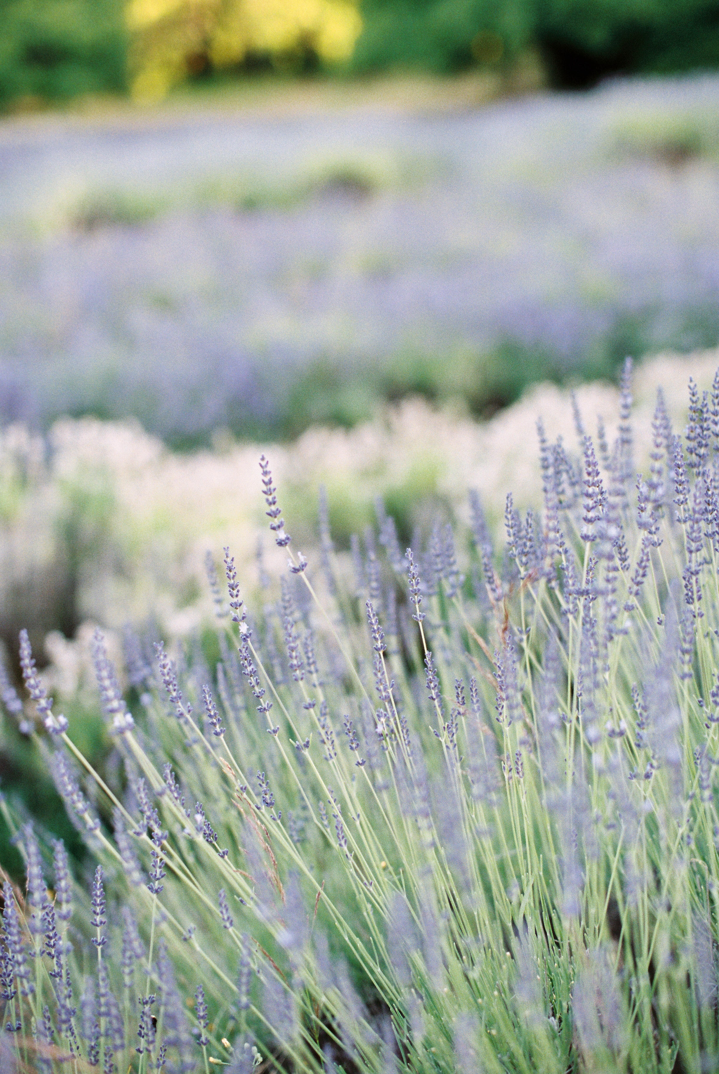 lavender-field-matnernity-photography-28.jpg