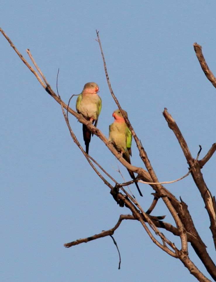 A pair of Princess Parrot enjoying the mid-morning sun during a winter visit to Australian Wildlife Conservancy's Newhaven Reserve west of Alice Springs in 2012.