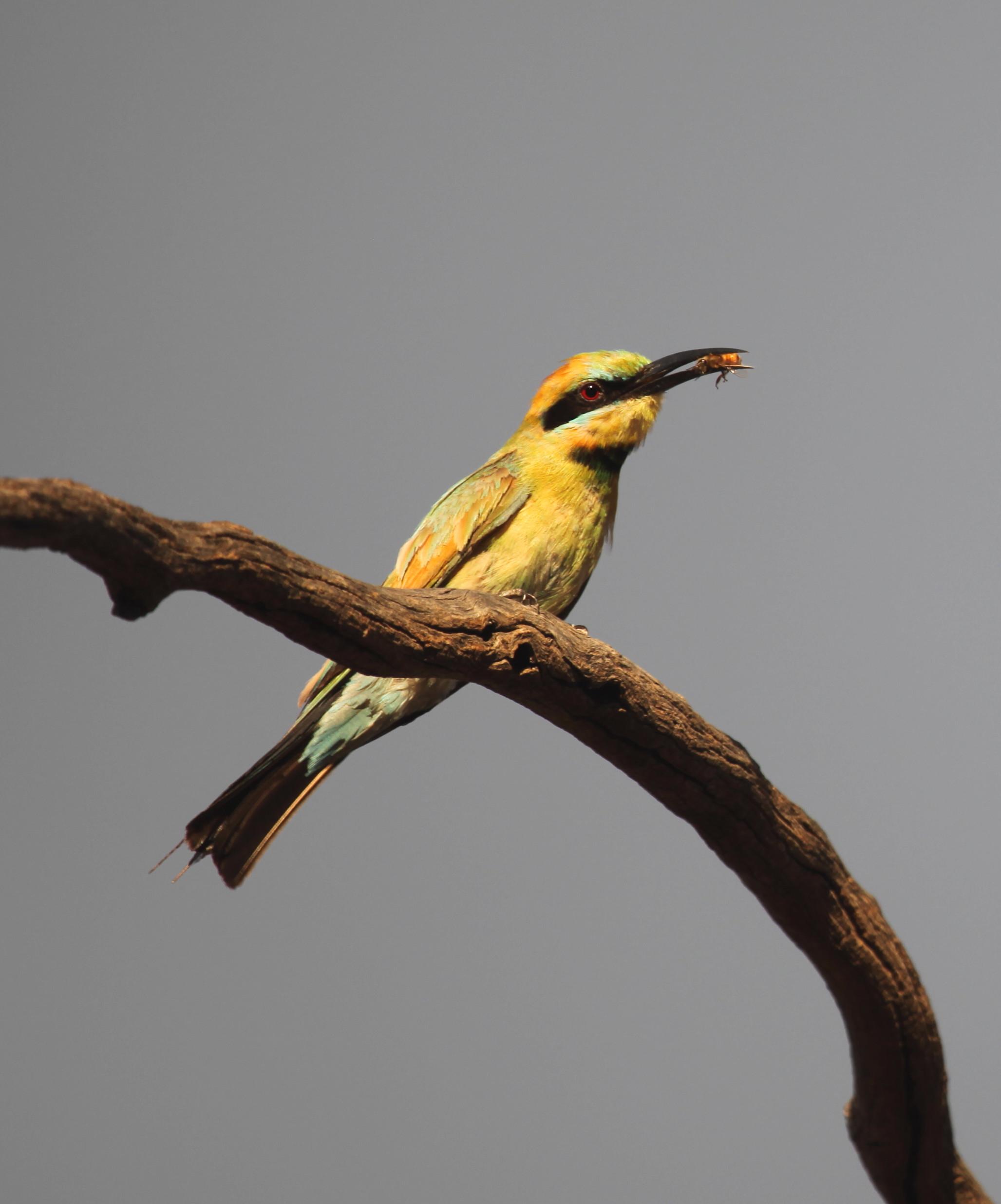 Rainbow Bee-eater  Merops ornatus .