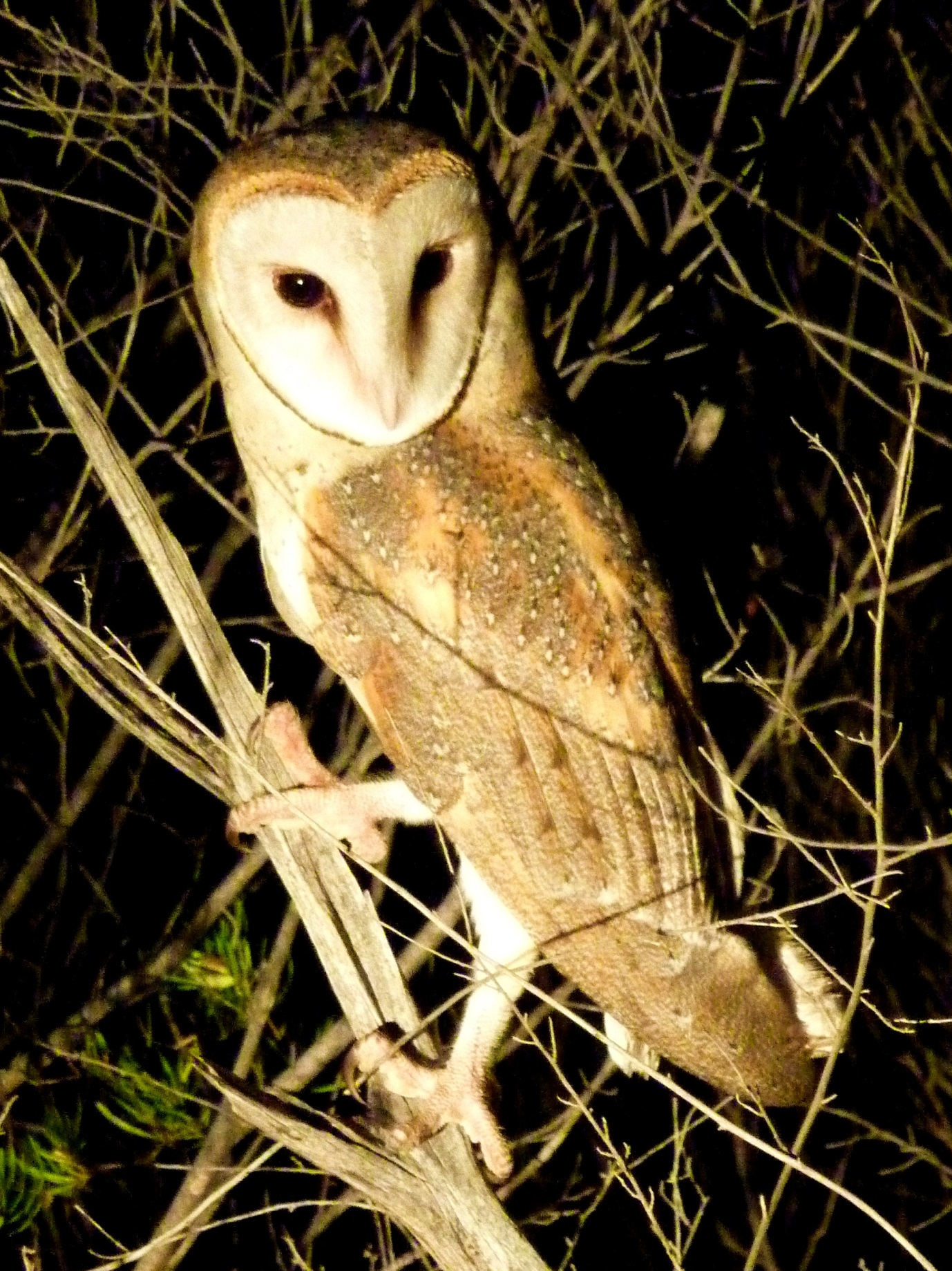 Eastern Barn Owl  Tyto javanica