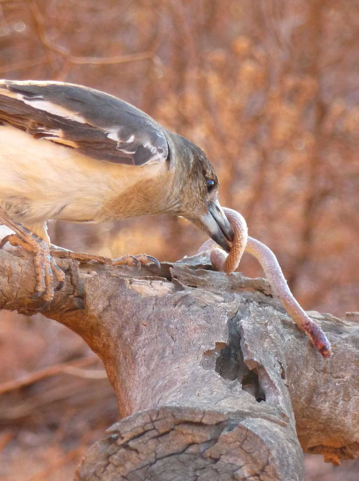 Pied Butcherbird  Cracticus nigrogularis , wrestling with a Western Hooded Scaly-foot  Pygopus nigriceps , or as he might term it - breakfast.