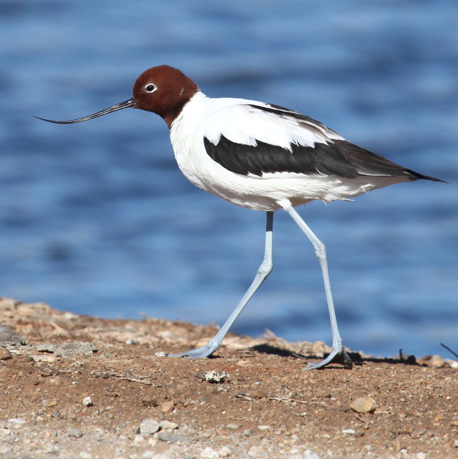 Red-necked Avocet  Recurvirostra novaehollandiae