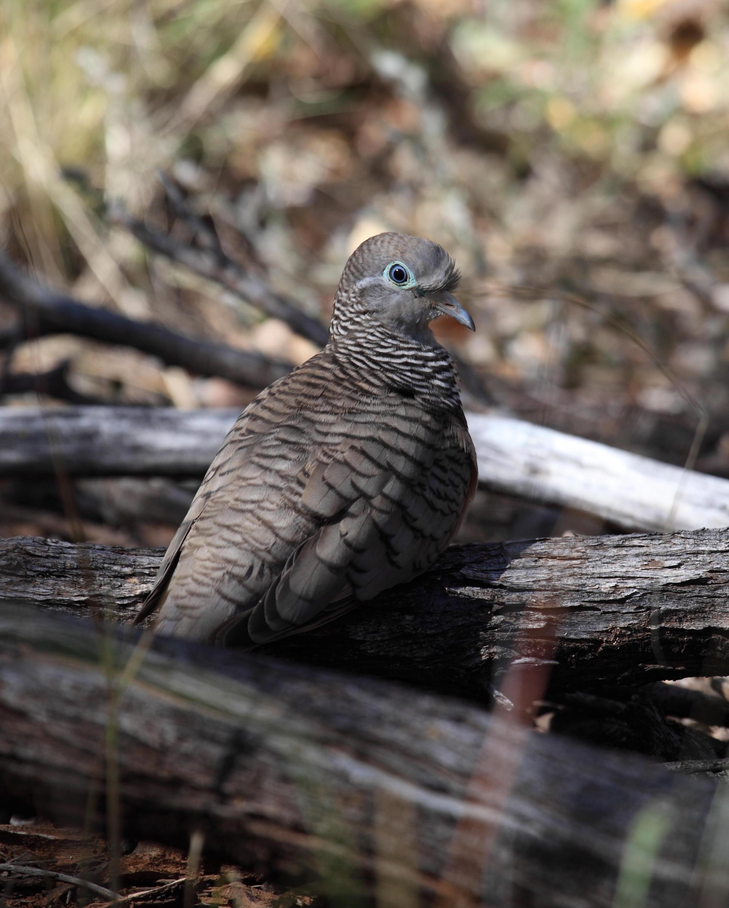 Peaceful Dove  Geopelia placida