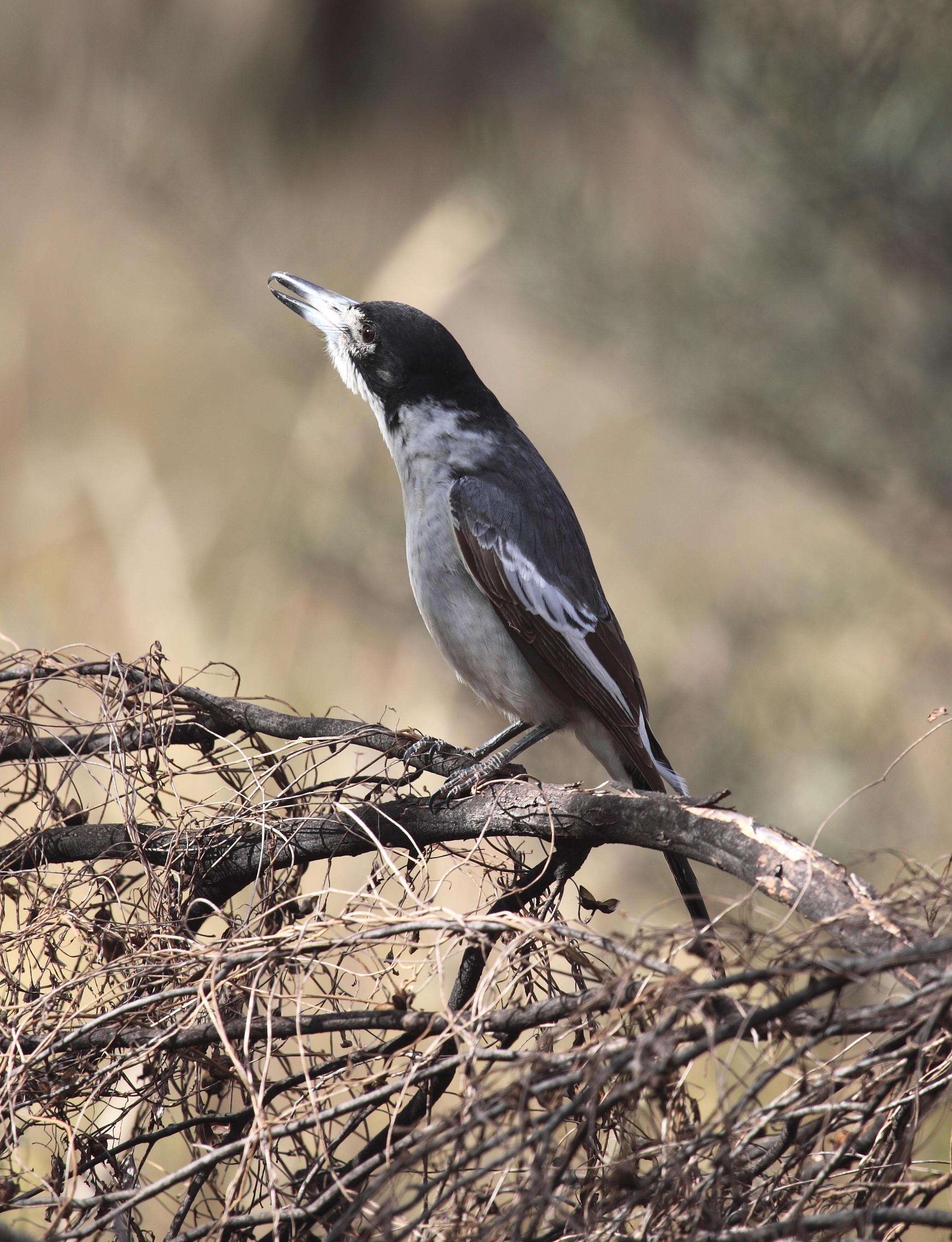 Grey Butcherbird  Cracticus torquatus