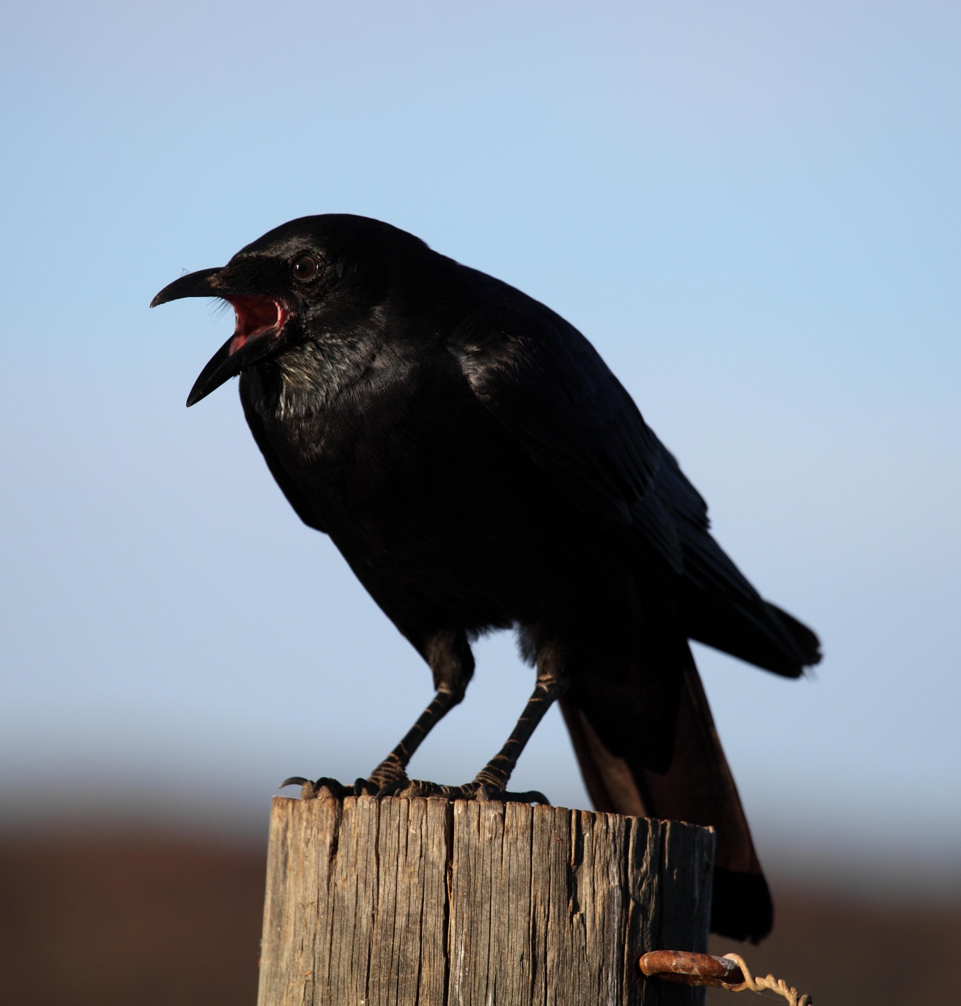 Immature Little Crow  Corvus bennetti