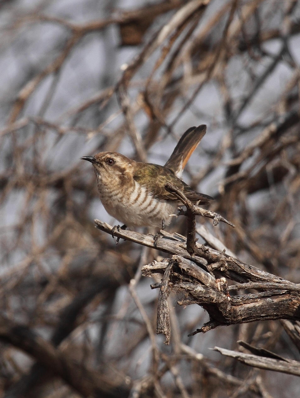 Horsfield's Bronze-cuckoo  Chrysococcyx basalis