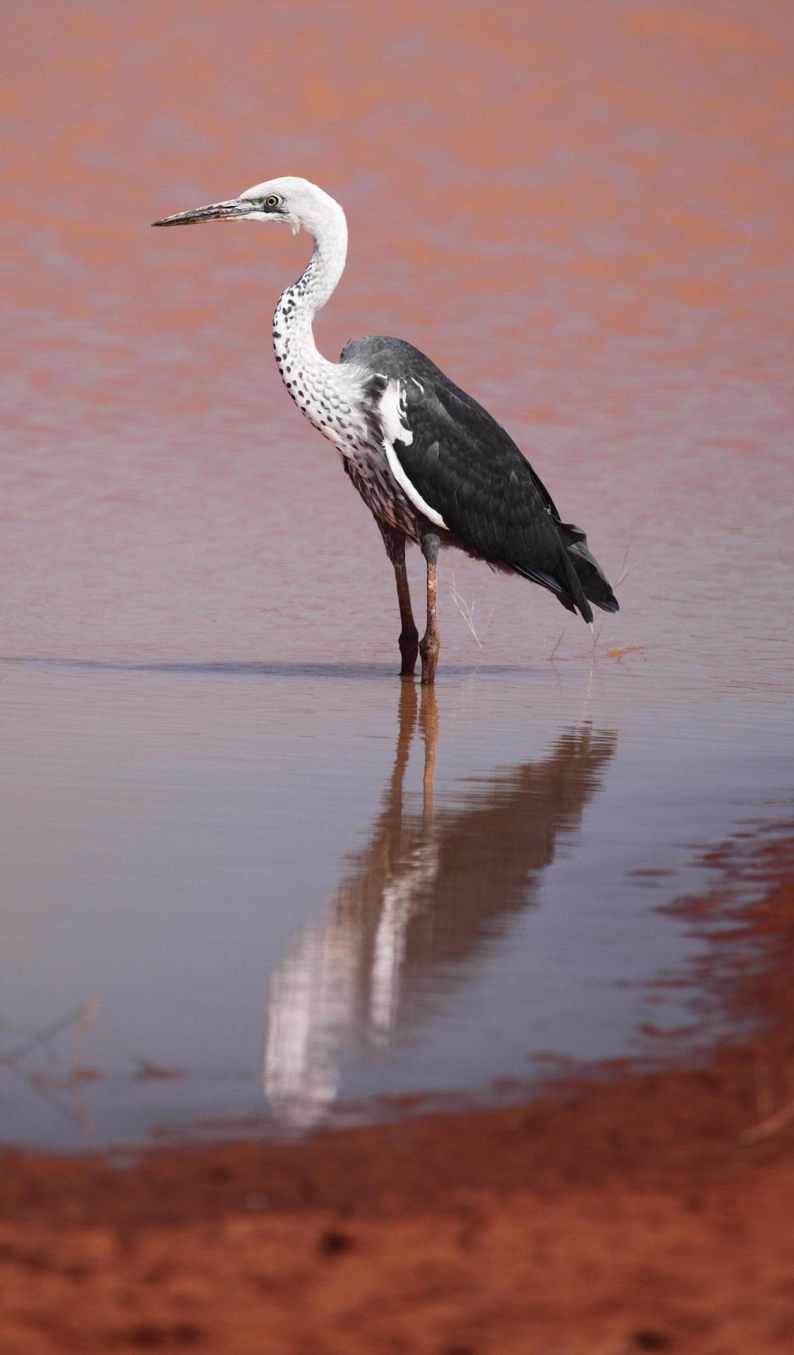White-necked Heron  Ardea pacifica