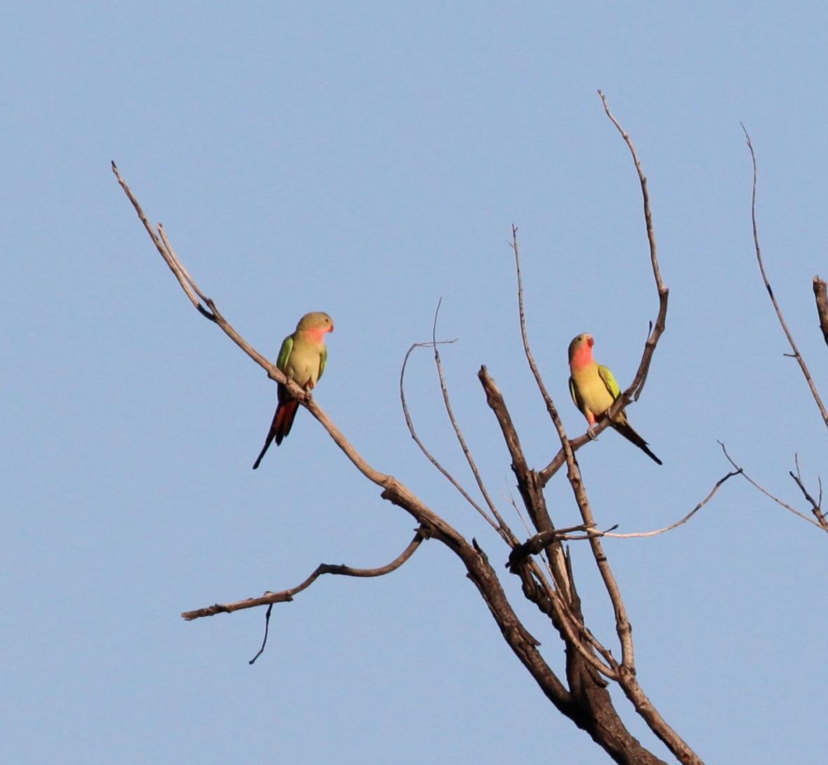Princess Parrot  Polytelis alexandrae