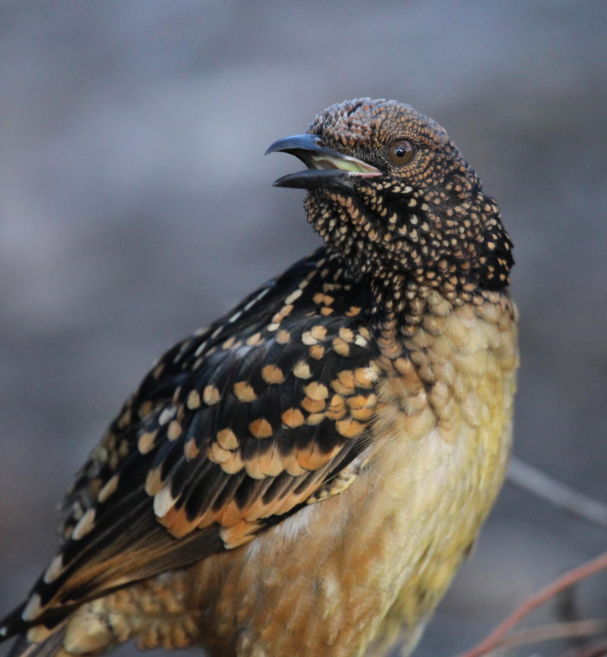 Western Bowerbird  Chlamydera guttata