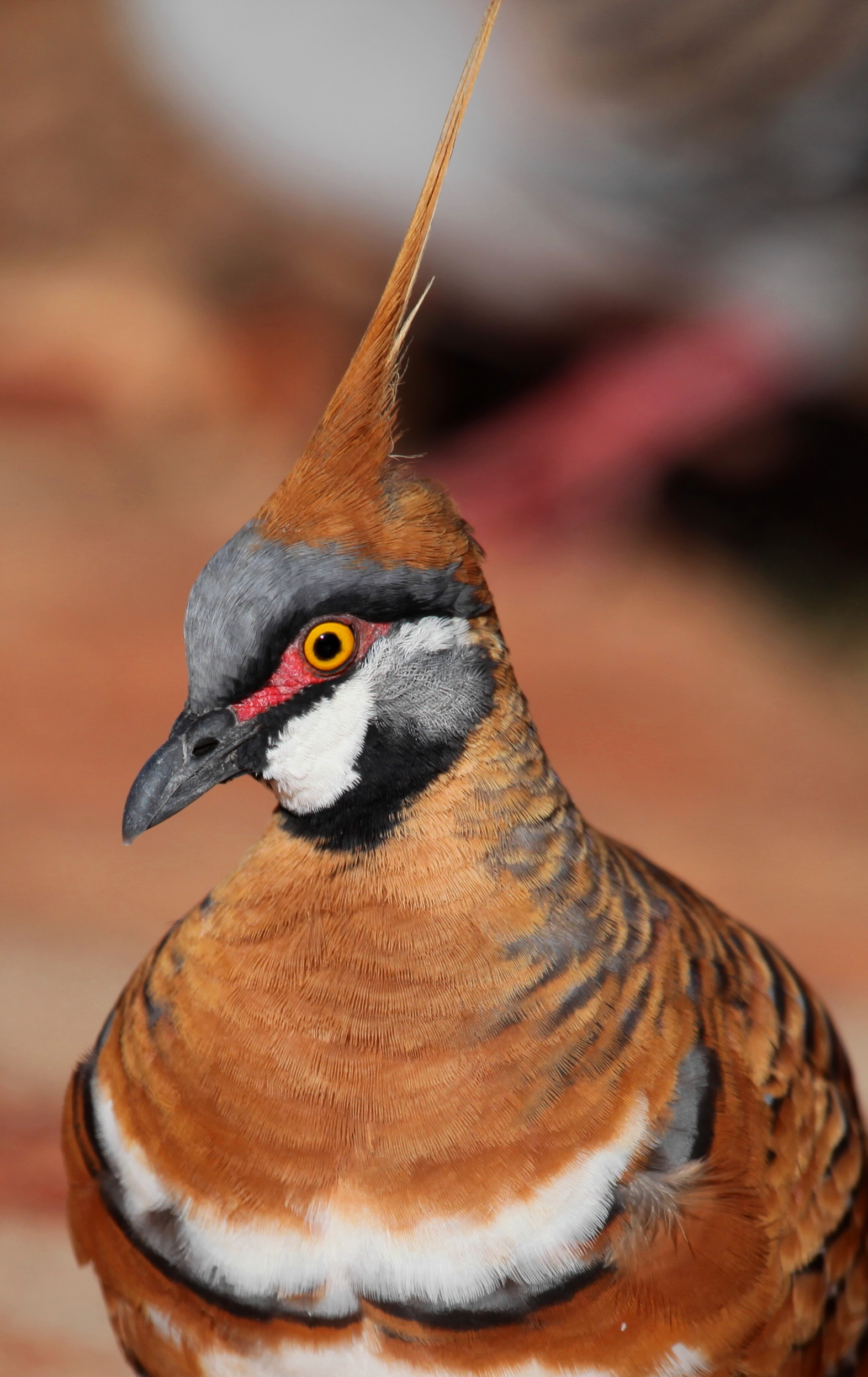 Spinifex Pigeon  Geophaps plumifera
