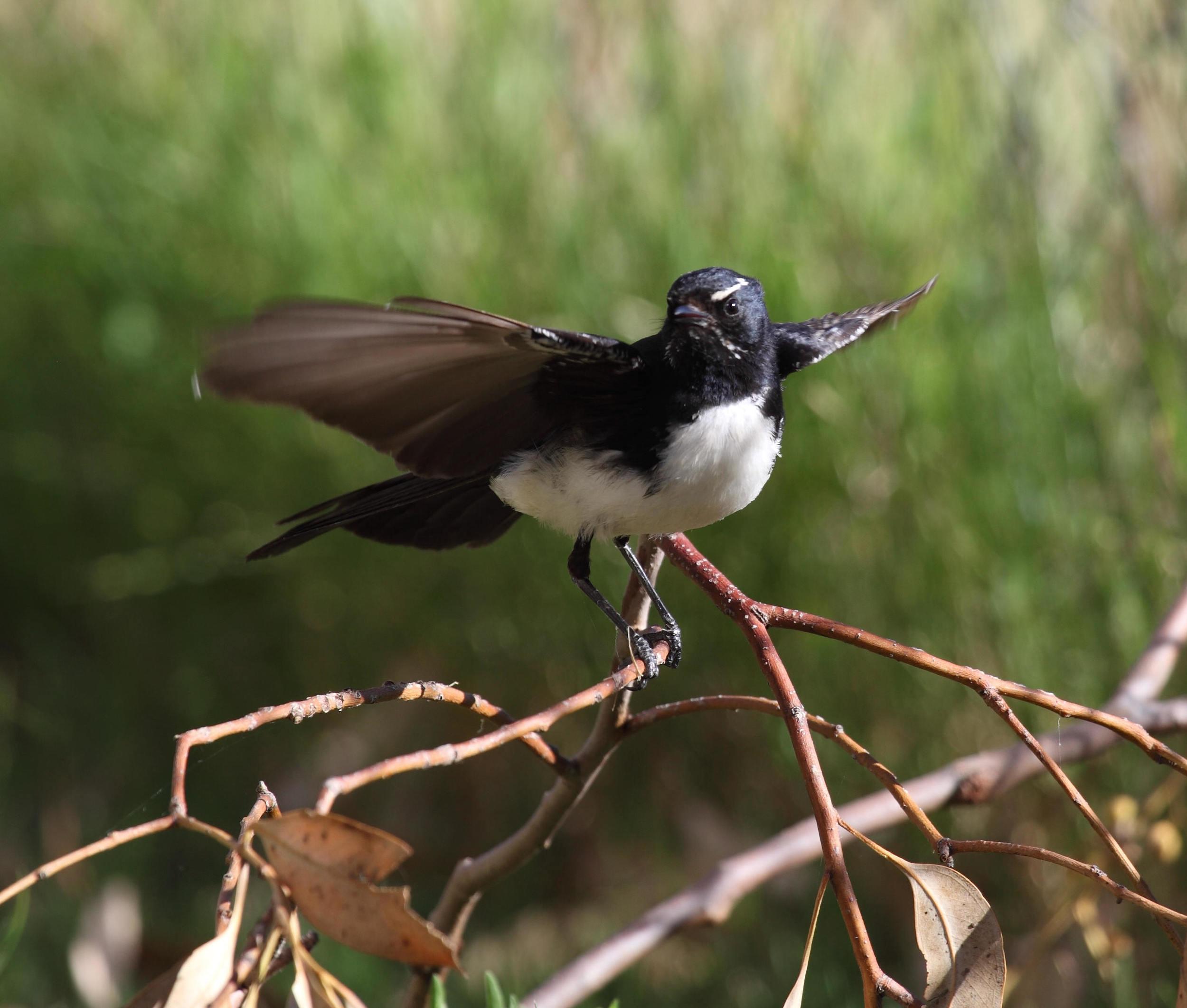 Willie Wagtail  Rhipidura leucophrys , a true bird-watcher's bird.